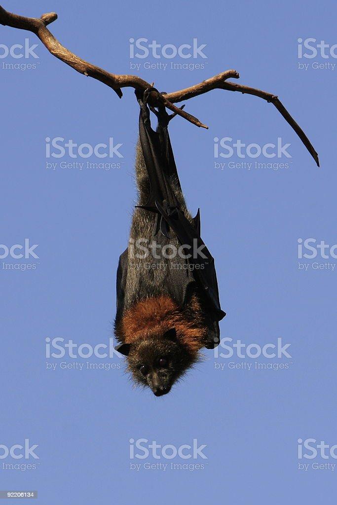 Grey Headed Flying Fox royalty-free stock photo