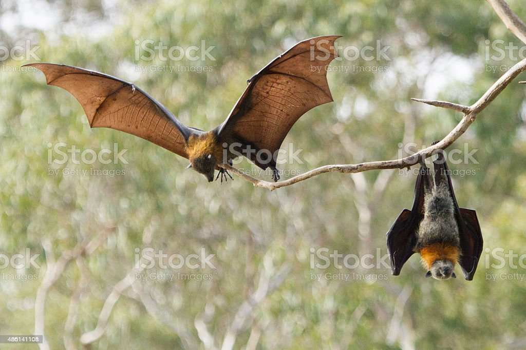 Grey Headed Flying Foxes stock photo