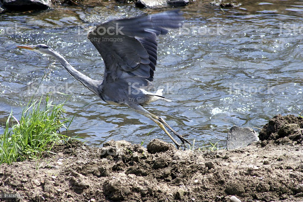 grey heron about to fly royalty-free stock photo