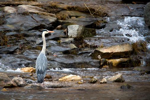 Grey Heron aquatic bird in middle of river