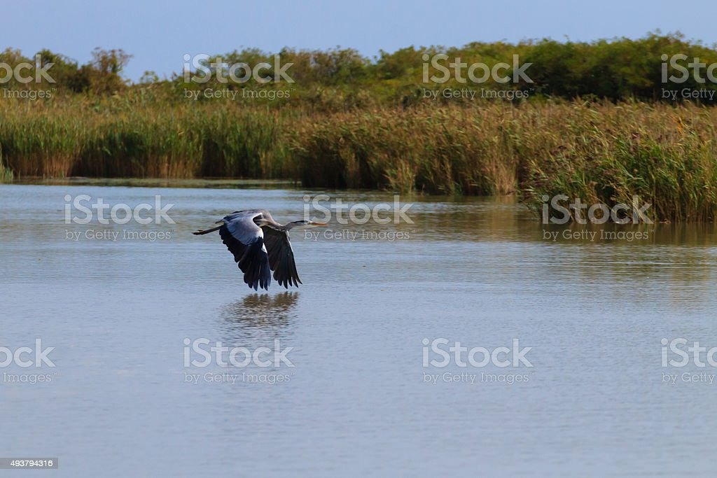 Grey heron, arde cinerea stock photo
