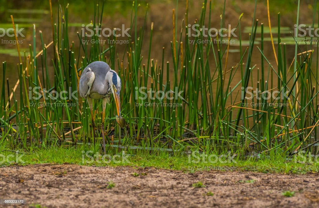 Grey heron, Ardea cinerea, catching a fish, Kruger National Park, South Africa stock photo