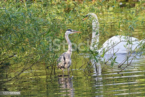 Kept under review by a suspicious male mute swan is this adult grey heron (Ardea cinerea) picked out by early morning light. Background colours are rich and dark. Mitcham Pond, Surrey, England. Photo taken at around 06:30, two hours after sunrise.