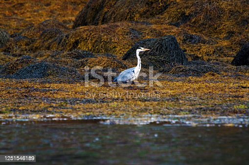 A grey heron fishing on rocks exposed during low tide in Scotland