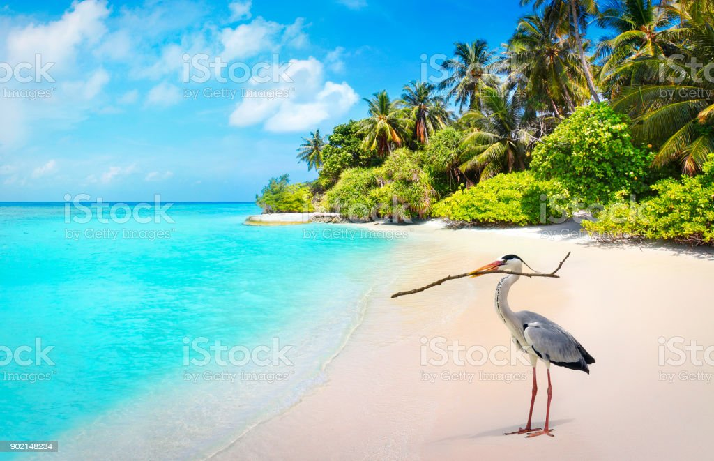 Grey heron bird on the beach in Maldives stock photo