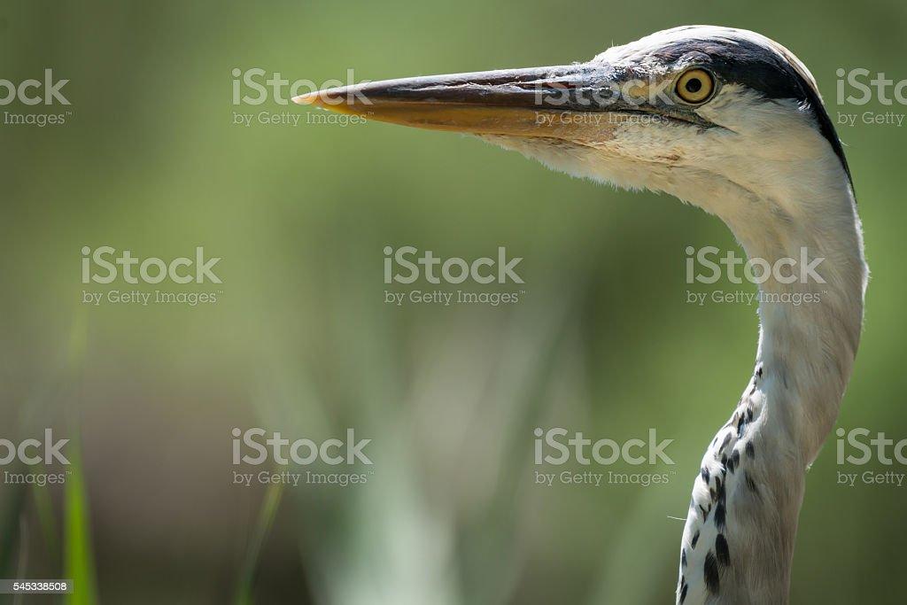 Grey Heron Close Up stock photo