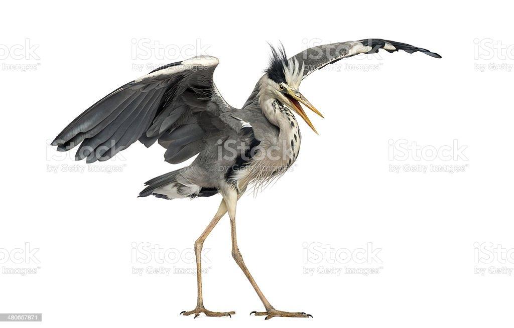 Grey Heron doing a mating dance, Ardea Cinerea royalty-free stock photo
