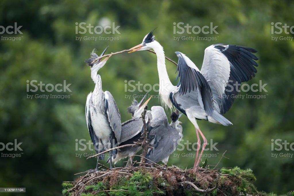 Familie grauer Reiher im Nest – Foto