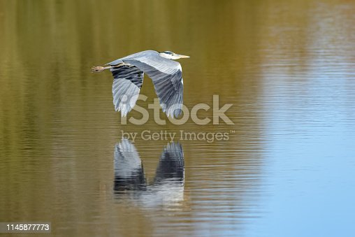 The bird is reflected in the water below.