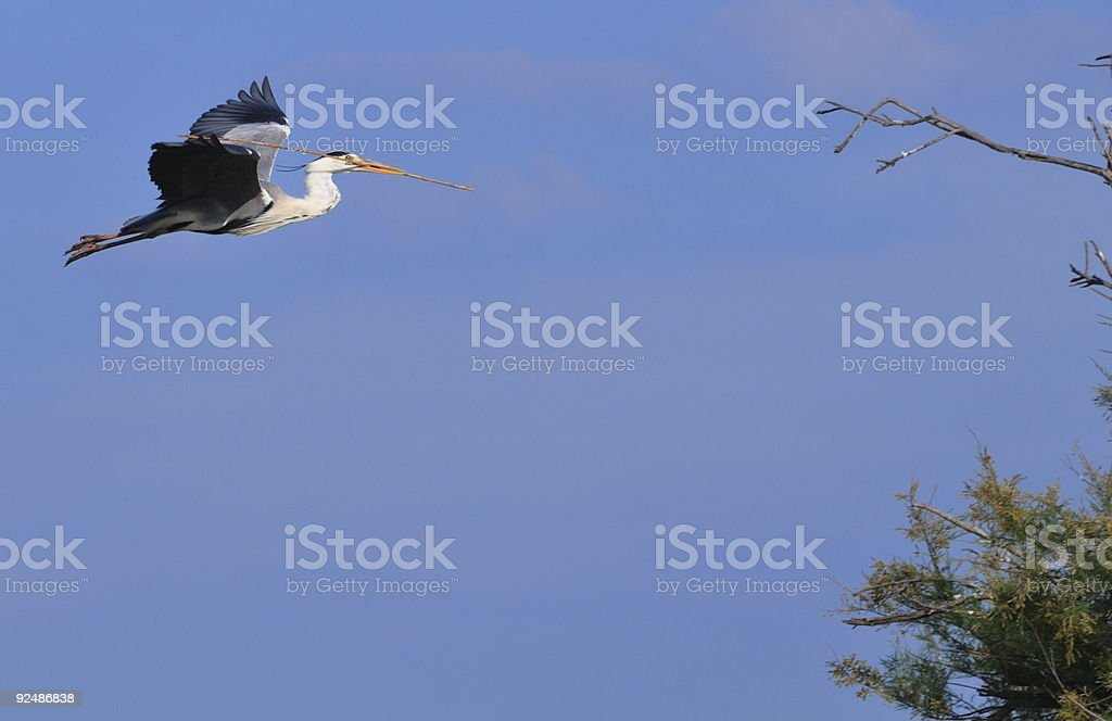Grey Heron flying with a reed in its beak royalty-free stock photo