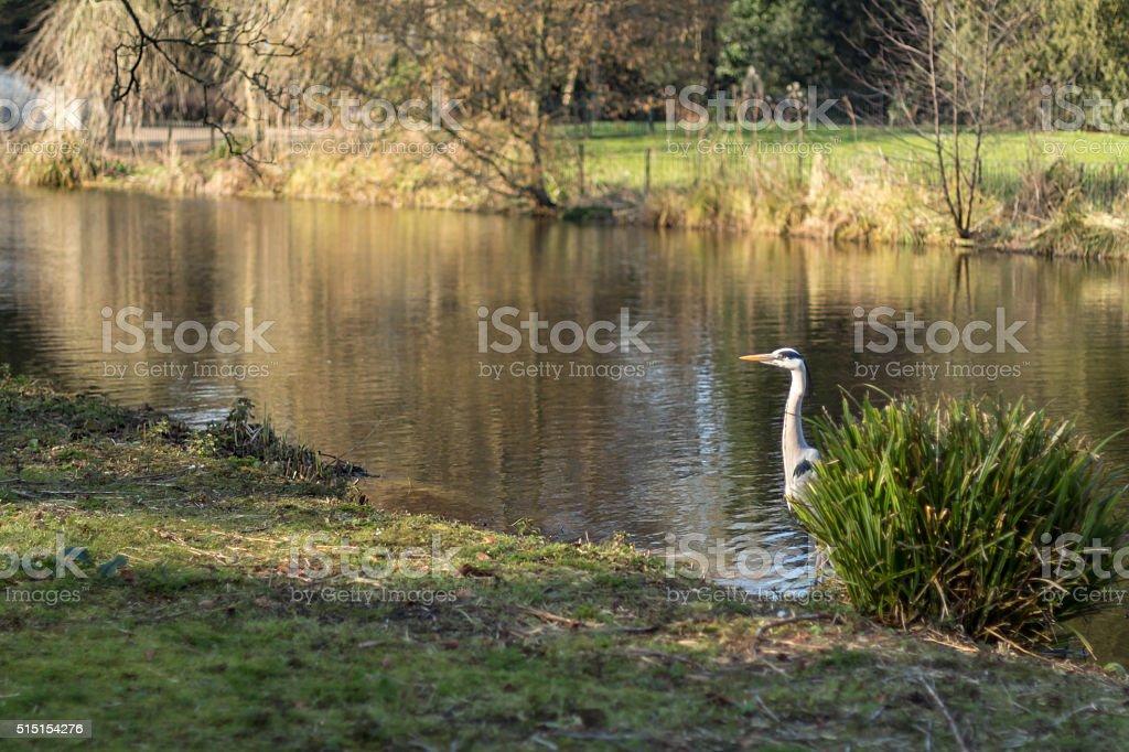 Grey heron in Chiswick park stock photo