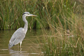 A grey heron in a grass marsh looking for prey