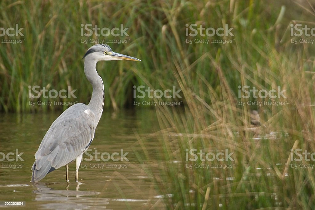Grey Heron in Grass Marsh stock photo