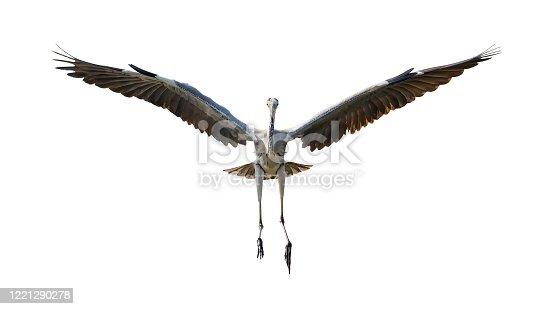 grey heron isolated on white background