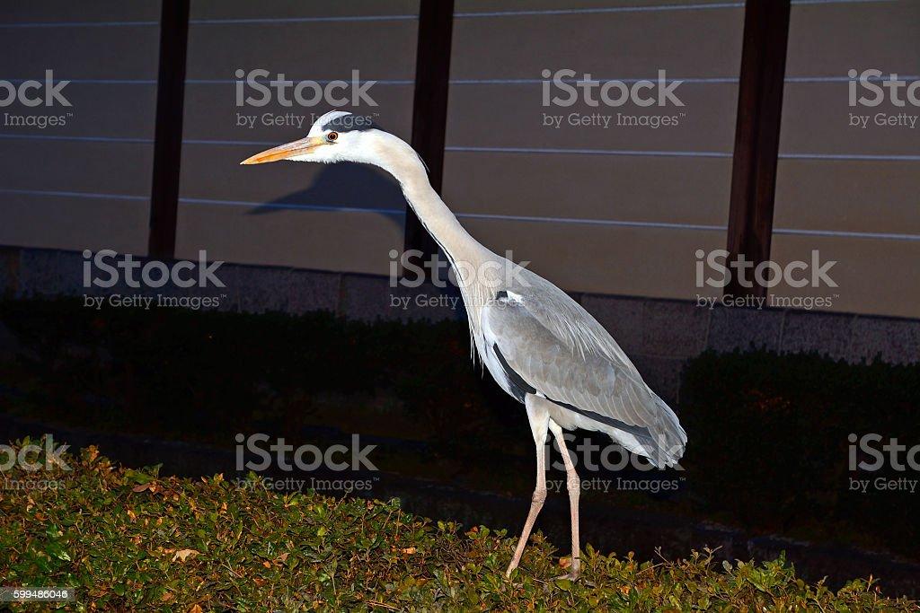 Grey heron, Kyoto, Japan - foto stock