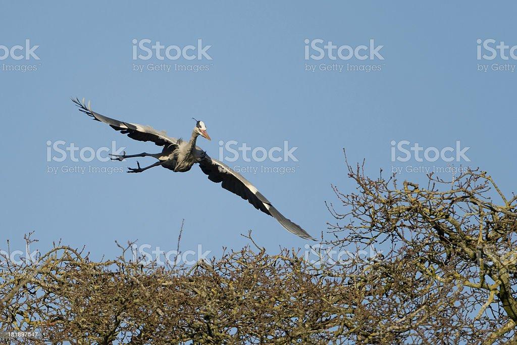 Grey Heron landing in trees royalty-free stock photo