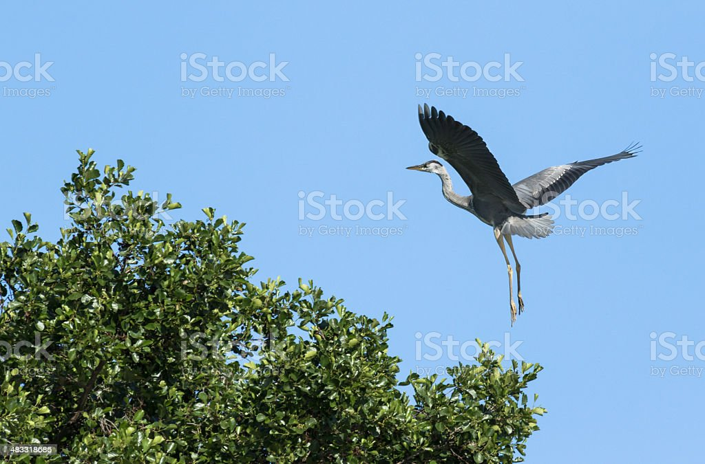 Grey heron landing on a tree stock photo