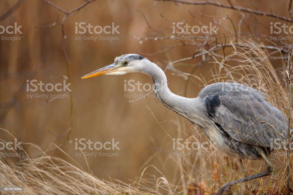 Grey heron - Master of patience stock photo