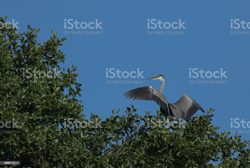 Grey heron on a tree top stock photo