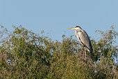 Grey heron (Ardea cinerea) is a long-legged predatory wading bird of the heron family, Ardeidae, native throughout temperate Europe and Asia and also parts of Africa