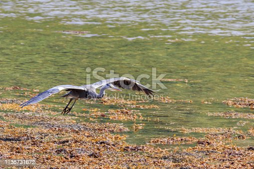 Heron gliding in to land at the edge of a Scottish Loch