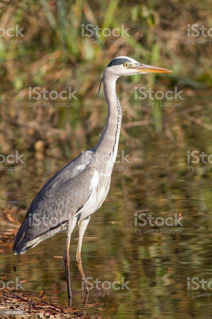 Grey heron (Ardea cinerea Linnaeus) stock photo
