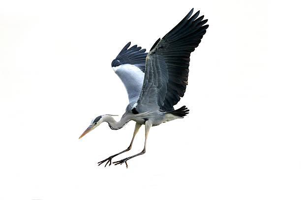 grey heron (ardea cinerea) - balıkçıl stok fotoğraflar ve resimler