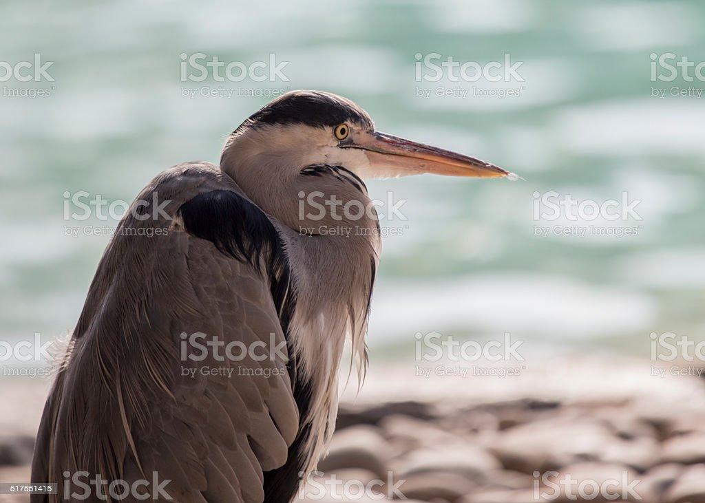 Grey Heron (Ardea cinerea) stock photo