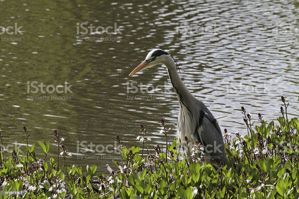 Grey heron searching for tadpoles in bogbean pondweed royalty-free stock photo