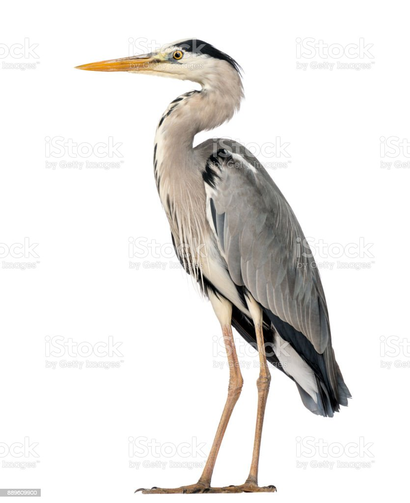 Grey Heron standing, Ardea Cinerea, 5 years old, isolated on white stock photo