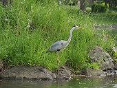 grey heron standing on waterside
