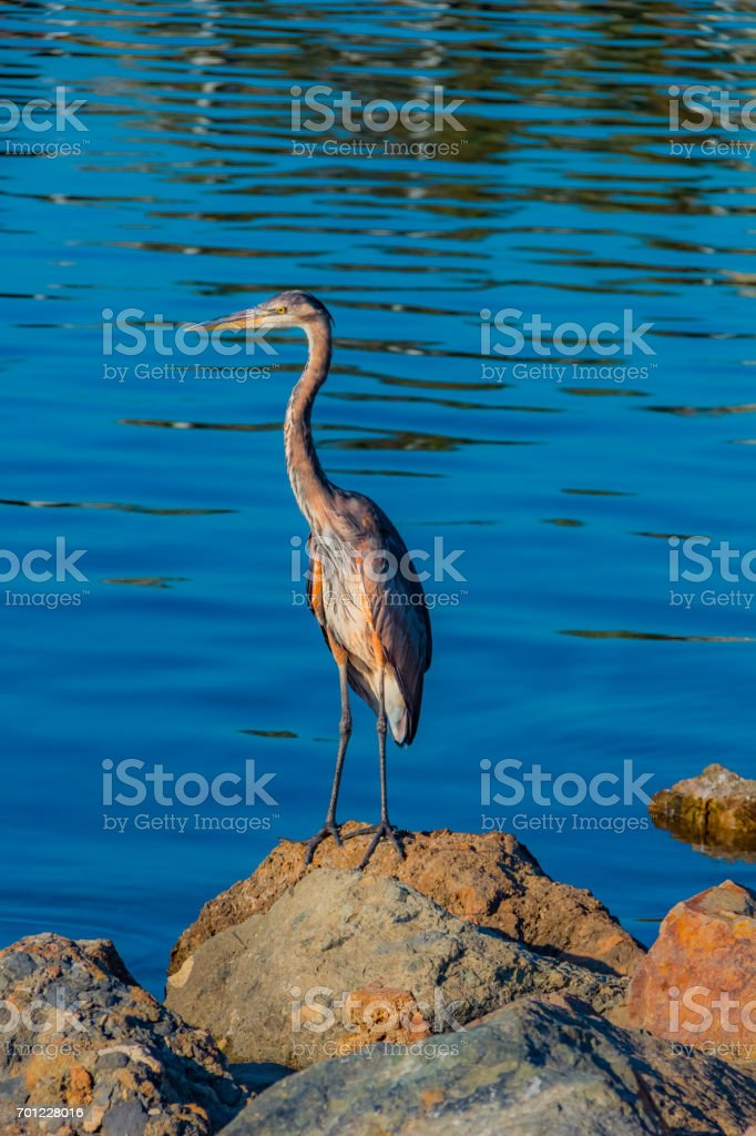 Grey Heron stands on rock in Long Beach harbor(P) stock photo