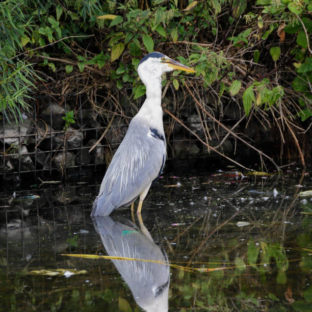 grey heron swallows swimming brown rat series - whiteway rat stock photos and pictures