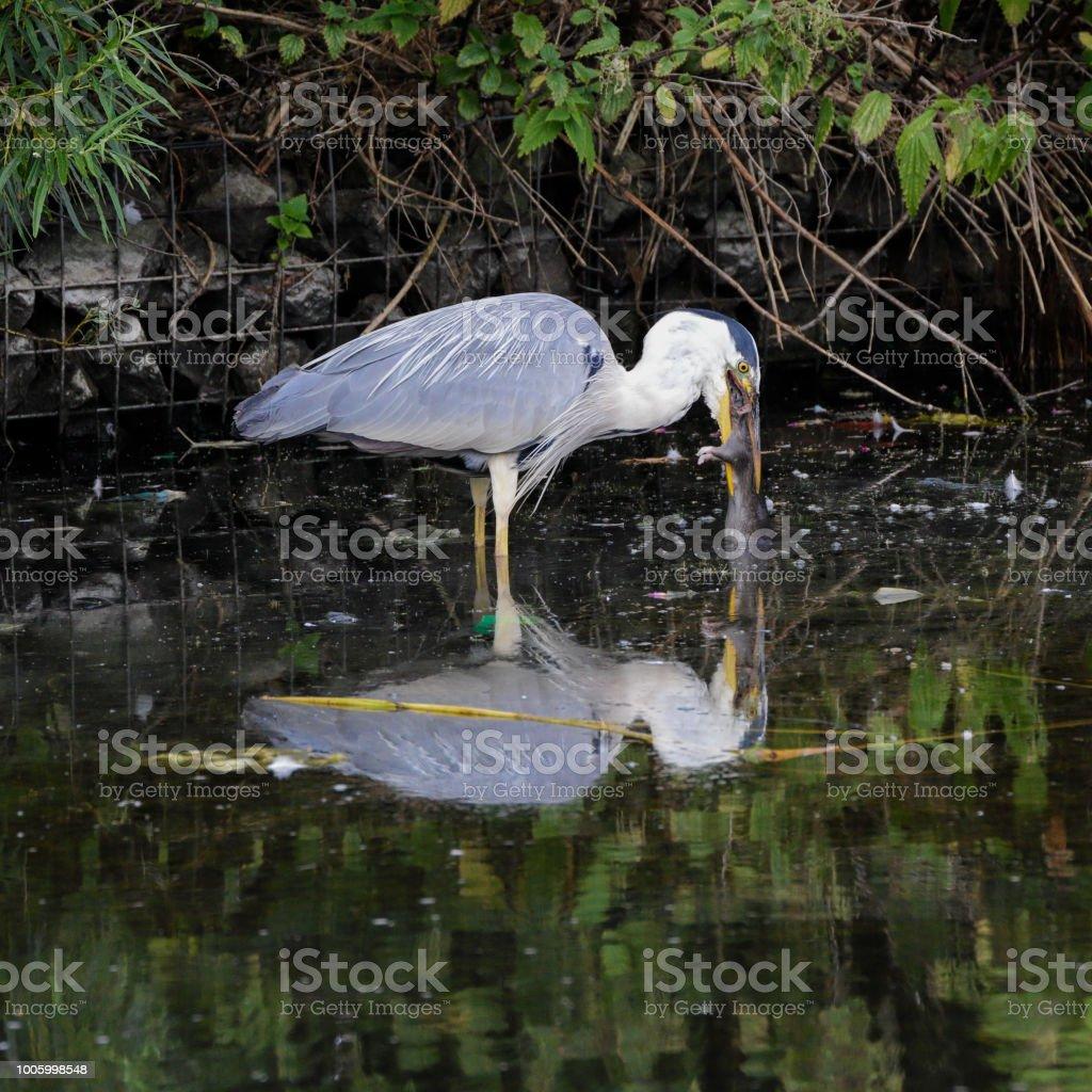Grey heron swallows swimming brown rat series stock photo
