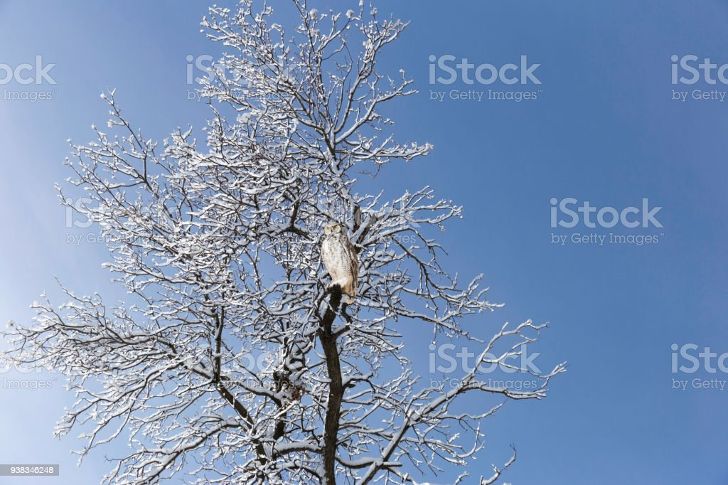grey horned owl perched on snow covered tree. stock photo