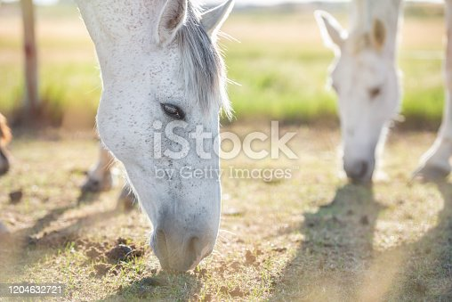 Closeup portrait of a grey horse grazing in a meadow at sunset, with another horse in the background. Horizontal. No people. Selective focus. Copyspace.