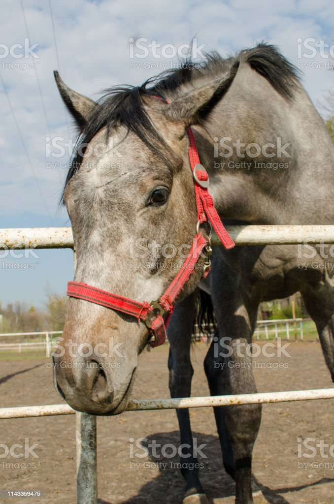 Grey Horse Head Close Up Side View Stock Photo Download Image Now Istock
