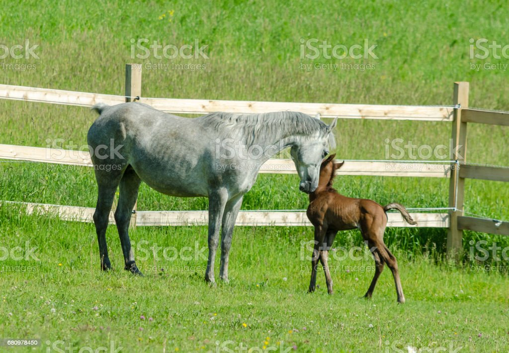 grey horse mare loves and cuddles her brown foal royalty-free stock photo