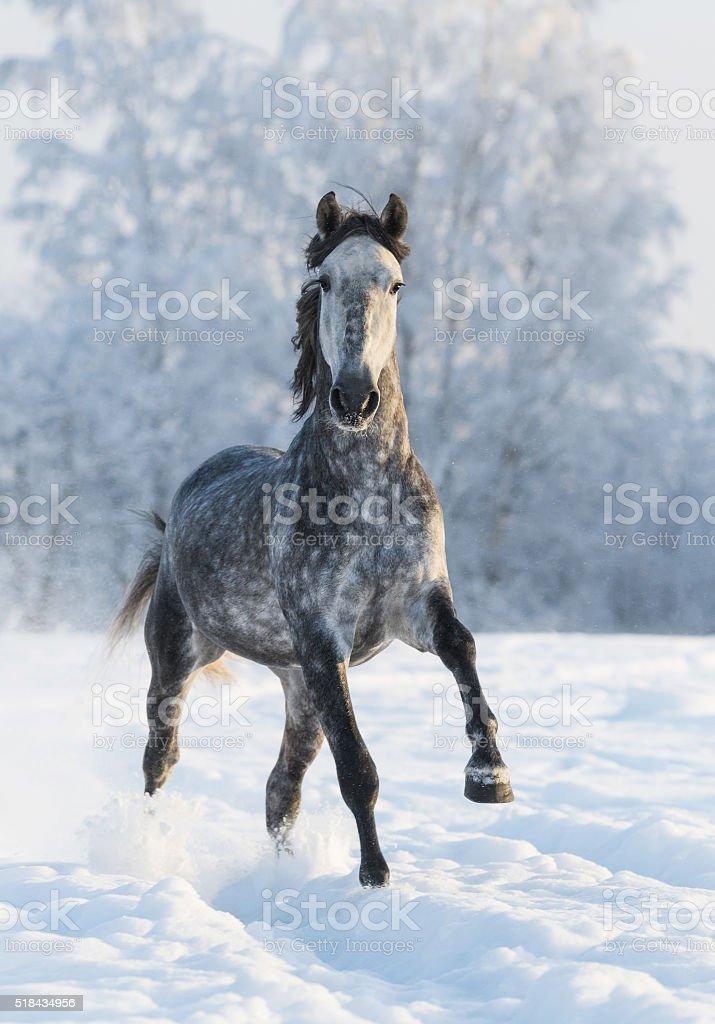 Grey horse run gallop in winter stock photo