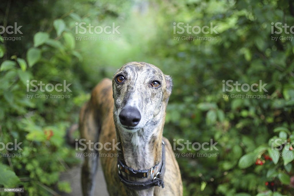 Grey Hound Head stock photo