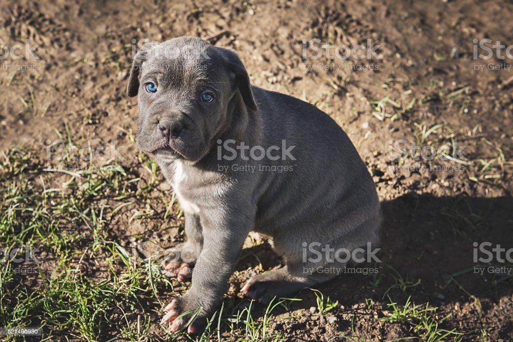 Cane corso schwarz blaue augen