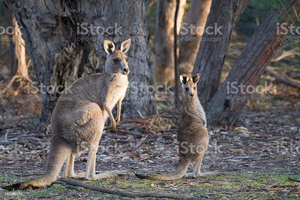 Grey Kangaroo and Joey royalty-free stock photo