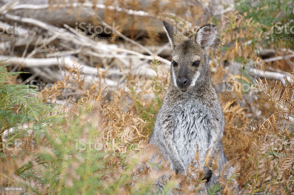 Grey Kangaroo in the Bush royalty-free stock photo