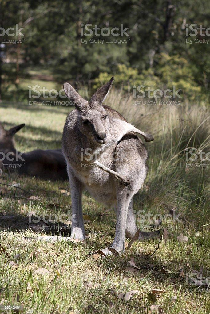 Grey Kangaroo royalty-free stock photo