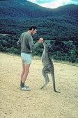 Grey kangaroo standing tripod style being fed