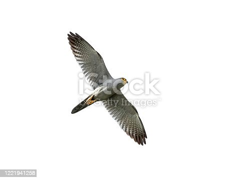 Grey kestrel in flight with blue skies in the background