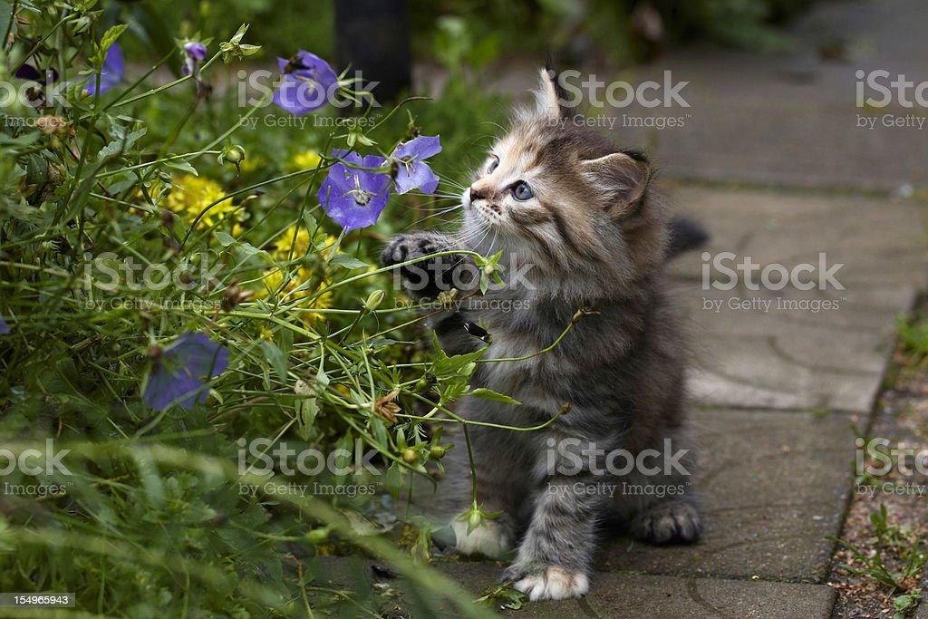 Grey kitten has some fun royalty-free stock photo