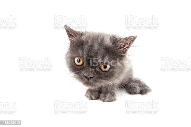 Grey kitten picture id183039013?b=1&k=6&m=183039013&s=612x612&h=iqqvqwk1v1qdntalqputfytbiog5w4182yyofiwhdbu=