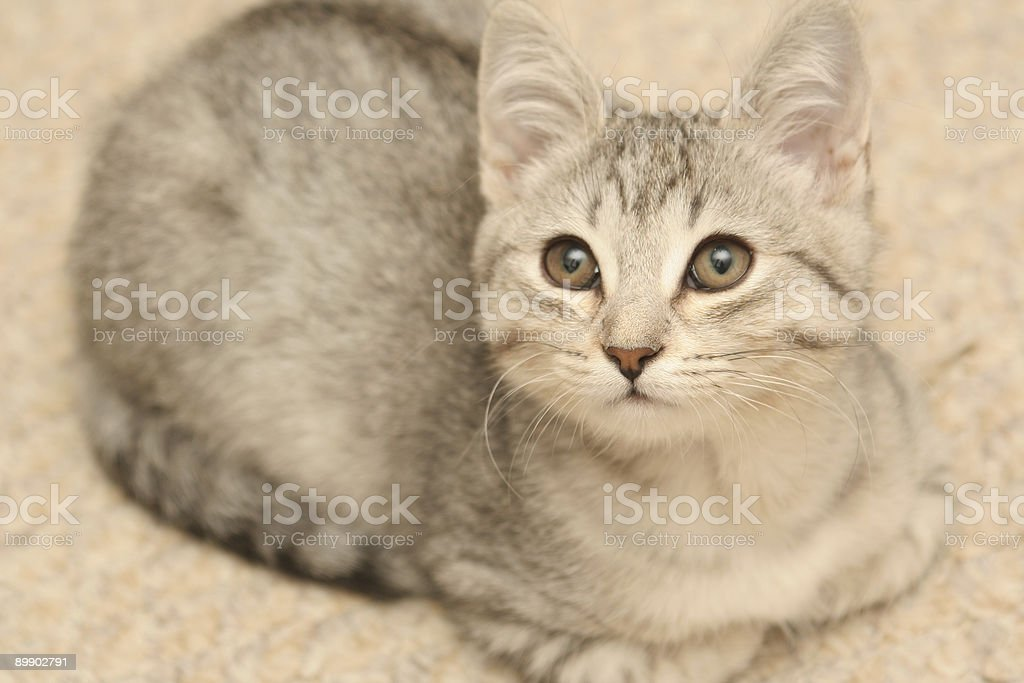 grey kitten royalty-free stock photo