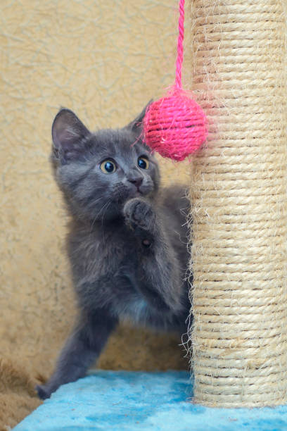 Grey kitten playing with pink ball picture id1080271308?b=1&k=6&m=1080271308&s=612x612&w=0&h=rdhhxaii5mnj4ee8dyfjfszj57himv5qy3 ny62wizg=